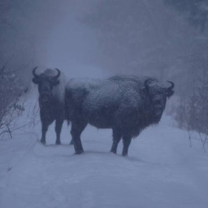 Bison in winter, photo by Piotr Wawrzyniak