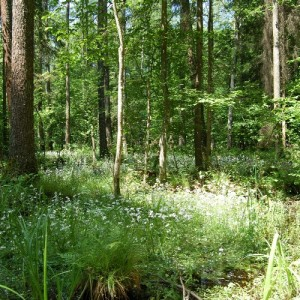 In the forest, photo: Archive of Browsk Forest District