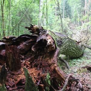 The broken oak, photo by Hajnówka Forest District