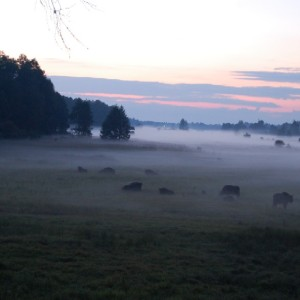 Bison in meadow, photo by Browsk Forest District