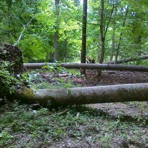 Fallen trees, photo by Hajnówka Forest District