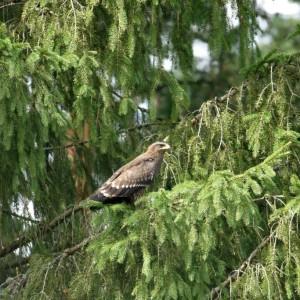 Lesser spotted eagle, photo by Grzegorz Dworakowski