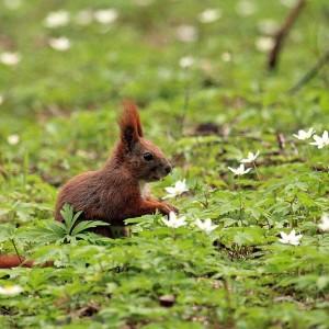Squirrel, photo by RDLP Archive in Białystok