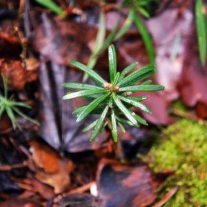 Natural regeneration of fir, photo by Klaudia Formejster